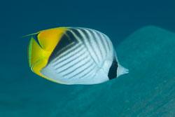 BD-131212-Marsa-Alam-1349-Chaetodon-auriga.-Forsskål.-1775-[Threadfin-butterflyfish.-Flaggfisk].jpg